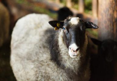Продажа племенных овец и баранов