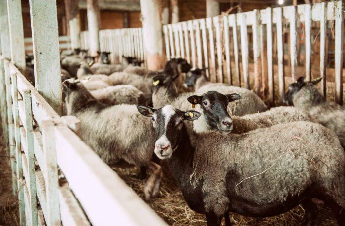 Племенные Романовские Овцы (Ярки)