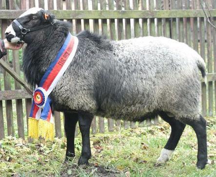 племенные романовские овцы фото