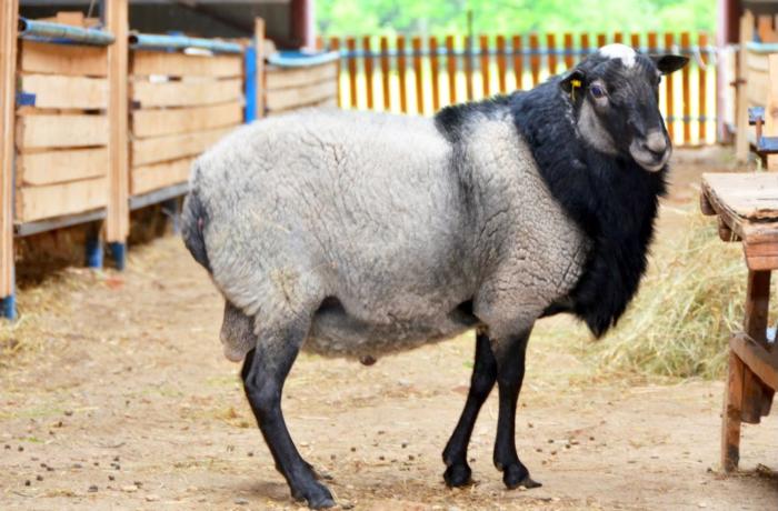 замер самая вкусная порода овец соответствии законодательством вкладчик