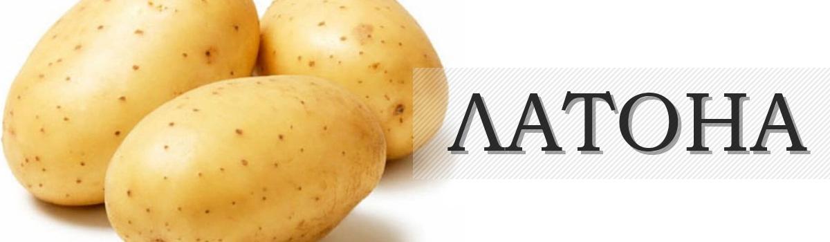 картофель сорта ЛАТОНА