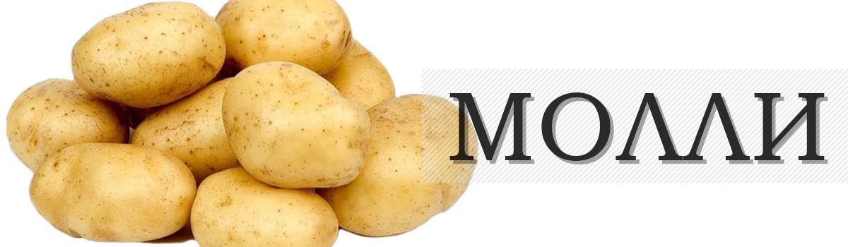 картофель сорта МОЛЛИ