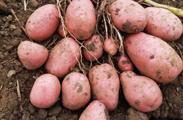 Семенной картофель «Фантазия»