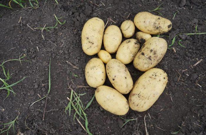 Семенной картофель «Королева Анна»