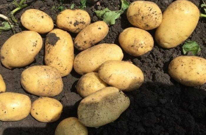 Семенной картофель «Аризона»